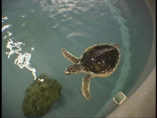 Cool Stuff:  Sea Turtles of the NE
