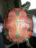 Cooter #122 has whitish lesions on its plastron.
